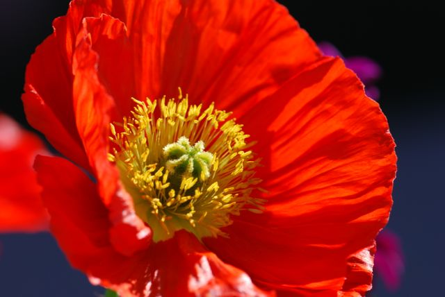 pinterest image poppy